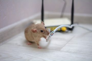 Mouse chewing on cable